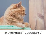 young beautiful maine coon cat | Shutterstock . vector #708006952