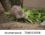 the north island brown kiwi on... | Shutterstock . vector #708015058