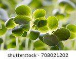 closeup of five days old... | Shutterstock . vector #708021202