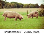 pig farm.  pigs in field.... | Shutterstock . vector #708077026