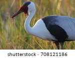 wattled crane adult in... | Shutterstock . vector #708121186