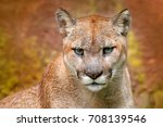 Portrait Of Cougar. Danger...