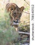 lioness walking though tall... | Shutterstock . vector #708140512