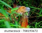Green Iguana Costa Rica