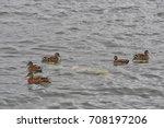 Wild Ducks  Anas Platyrhynchos...