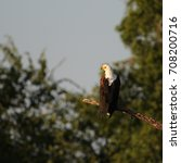 fish eagle sitting on branch in ... | Shutterstock . vector #708200716