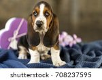 Stock photo pretty and gently basset hound puppy which is an old three week a beautiful baseball hound is 708237595