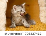Stock photo the cute little kitten is angry and hissing pets hypoallergenic breed of cats 708327412