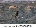Small photo of Single Acridotheres, Bird of Pakistan