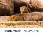 a pair of common dwarf mongoose ... | Shutterstock . vector #708398776