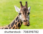 a giraffe seen chewing on grass ... | Shutterstock . vector #708398782