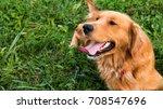 golden retriever dog. gorgeous...   Shutterstock . vector #708547696