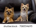 Cute Chihuahua Dogs With...