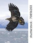Alaskan Bald Eagle Flying Over...
