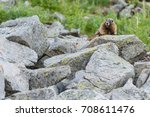 Marmot Perches On Boulder Fiel...
