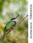 Small photo of A Rufous tailed Jacamar (Galibula ruficauda) perched on a thin twig against a blurred natural background, Pantanal, Brazil