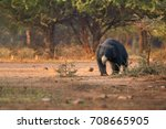 isolated  wild sloth bear ... | Shutterstock . vector #708665905