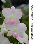 Small photo of Dendrobium airy peach orchid in natural light