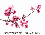 vibrant pink cherry blossom or... | Shutterstock . vector #708751612