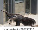 the giant anteater ... | Shutterstock . vector #708797116