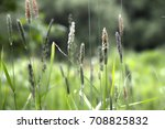 Small photo of Ears of a flowering Alopecurus aequalis on a summer field