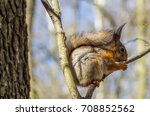 squirrel sitting on a branch... | Shutterstock . vector #708852562