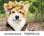 a dog of the welsh corgi breed... | Shutterstock . vector #708898126