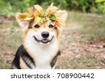 a dog of the welsh corgi breed... | Shutterstock . vector #708900442