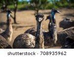 emu birds on a farm   Shutterstock . vector #708935962
