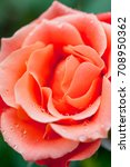 Small photo of Livin' Easy Floribunda apricot orange coloured rose