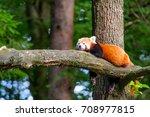 Lazy Red Panda Bear In Tree