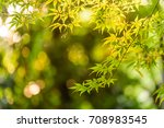the backlighting of maple leaf | Shutterstock . vector #708983545