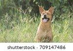 stray dog thai dog.   | Shutterstock . vector #709147486