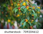 fruits and leaves on tree...   Shutterstock . vector #709204612