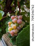 Small photo of Cluster of red wine grapes background/ dark grapes, blue grapes, Red Grape , Vitis vinifera L. , VITACEAE , Cardinal Grape , Emperor Grape