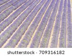 detail of a beautiful lavender... | Shutterstock . vector #709316182