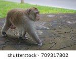 Brown Monkey Walks The Park ...
