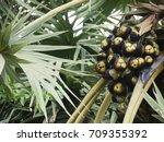 asian palmyra palm borassus...   Shutterstock . vector #709355392