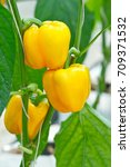 Yellow Sweet Bell Pepper On Th...