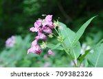 Purple Flowers Of Meadow...