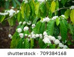 coffee tree blossom with white... | Shutterstock . vector #709384168