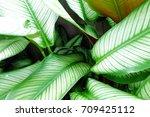 calathea | Shutterstock . vector #709425112