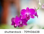 orchid flower in outdoor. | Shutterstock . vector #709436638