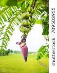 Focus A Banana Bud On Tree Wit...