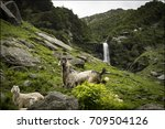 sheep in waterfall background | Shutterstock . vector #709504126