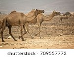 camels roaming free in the... | Shutterstock . vector #709557772