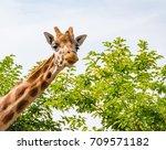 giraffe portrait | Shutterstock . vector #709571182
