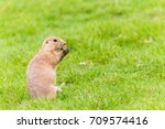 A Prairie Marmot Stands On Its...