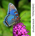 Stock photo  a beautiful red spotted purple butterfly limenitis arthemis at a purple butterfly bush 709634842