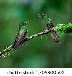 hummingbirds  chestnut breasted ... | Shutterstock . vector #709800502
